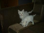Белоснежные котята в хорошие руки отдам